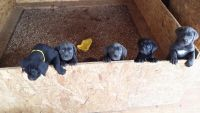 Cane Corso Puppies for sale in Brooksville, KY 41004, USA. price: NA