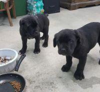 Cane Corso Puppies for sale in Birmingham, AL, USA. price: NA