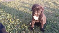 Cane Corso Puppies for sale in Fayetteville, NC, USA. price: NA