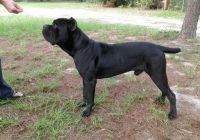 Cane Corso Puppies for sale in Berkeley, CA, USA. price: NA