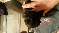Cane Corso Puppies for sale in Watkins Glen, NY, USA. price: NA