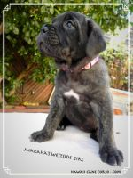 Cane Corso Puppies for sale in Honolulu, HI, USA. price: NA