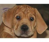Cane Corso Puppies for sale in Fresno, CA, USA. price: NA