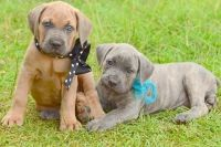 Cane Corso Puppies for sale in San Jose, CA, USA. price: NA