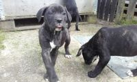Cane Corso Puppies for sale in Brooklyn, NY, USA. price: NA
