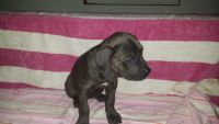 Cane Corso Puppies for sale in Grabill, IN 46741, USA. price: NA