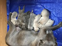 Cane Corso Puppies for sale in Columbus, OH, USA. price: NA