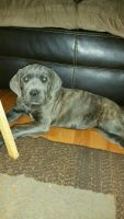 Cane Corso Puppies for sale in Baltimore, MD, USA. price: NA