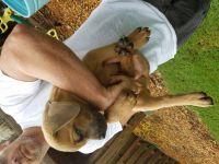 Cane Corso Puppies for sale in Ash Grove, MO 65604, USA. price: NA