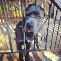 Cane Corso Puppies for sale in Morningside, MD, USA. price: NA
