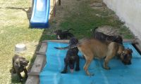 Cane Corso Puppies for sale in Amherst, NH 03031, USA. price: NA