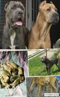 Cane Corso Puppies for sale in Essex, MD 21221, USA. price: NA