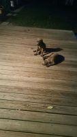Cane Corso Puppies for sale in Alexandria, VA, USA. price: NA