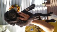 Cane Corso Puppies for sale in West Sunbury, PA 16061, USA. price: NA