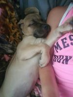 Cane Corso Puppies for sale in Shadyside, OH 43947, USA. price: NA