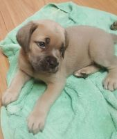 Cane Corso Puppies for sale in Temecula, CA, USA. price: NA