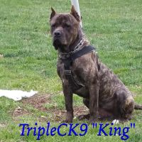 Cane Corso Puppies for sale in White Plains, MD, USA. price: NA
