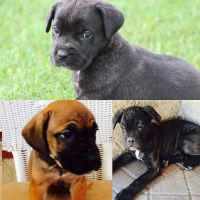 Cane Corso Puppies for sale in Killeen, TX, USA. price: NA