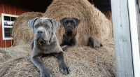 Cane Corso Puppies for sale in Jeffersonville, KY 40337, USA. price: NA