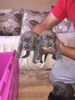 Cane Corso Puppies for sale in Providence, RI, USA. price: NA