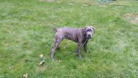 Cane Corso Puppies for sale in Bloomfield Twp, MI, USA. price: NA