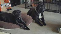Cane Corso Puppies for sale in Kansas City, MO, USA. price: NA