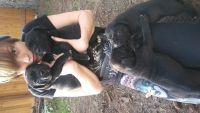 Cane Corso Puppies for sale in Portland, OR, USA. price: NA