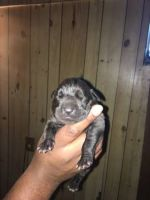 Cane Corso Puppies for sale in Country Club Hills, IL 60478, USA. price: NA