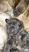 Cane Corso Puppies for sale in Burton, MI, USA. price: NA