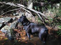 Cane Corso Puppies for sale in Suwanee, GA 30024, USA. price: NA