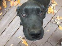 Cane Corso Puppies for sale in Woodbridge, VA 22191, USA. price: NA