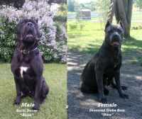 Cane Corso Puppies for sale in Lonsdale, MN 55046, USA. price: NA