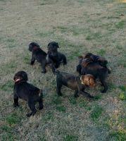 Cane Corso Puppies for sale in Delmar, MD 21875, USA. price: NA