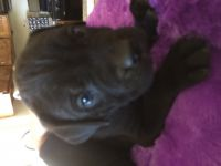 Cane Corso Puppies for sale in Lancaster, CA, USA. price: NA