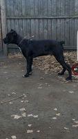 Cane Corso Puppies for sale in Chicago Ridge, IL, USA. price: NA