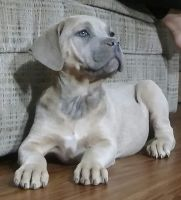 Cane Corso Puppies for sale in Dayton, OH 45417, USA. price: NA