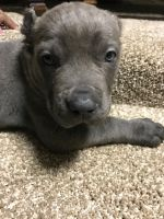 Cane Corso Puppies for sale in Fort Washington, MD, USA. price: NA