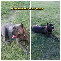 Cane Corso Puppies for sale in United States. price: NA
