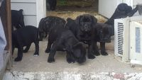 Cane Corso Puppies for sale in Durham, NC, USA. price: NA
