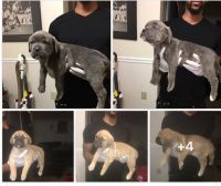Cane Corso Puppies for sale in Greenbelt, MD, USA. price: NA