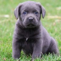 Cane Corso Puppies for sale in Campus Drive, Stanford, CA 94305, USA. price: NA