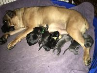 Cane Corso Puppies for sale in Justin, TX 76247, USA. price: NA