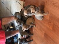 Cane Corso Puppies for sale in Clementon, NJ 08021, USA. price: NA
