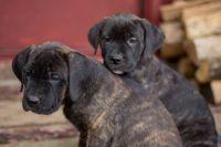 Cane Corso Puppies for sale in Whitesburg, GA 30185, USA. price: NA