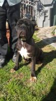 Cane Corso Puppies for sale in Lynwood, CA, USA. price: NA