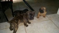 Cane Corso Puppies for sale in Randallstown, MD 21133, USA. price: NA