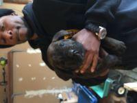 Cane Corso Puppies for sale in Wichita, KS, USA. price: NA
