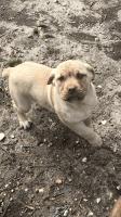 Cane Corso Puppies for sale in Henrico, VA 23294, USA. price: NA