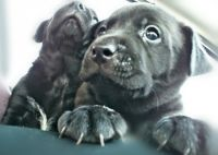 Cane Corso Puppies for sale in Covington, KY, USA. price: NA