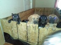 Cane Corso Puppies for sale in Clinton, MD, USA. price: NA